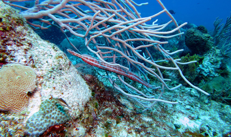 Trumpet fish hiding in the sea rods