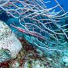 Trumpet fish hiding in the sea rods