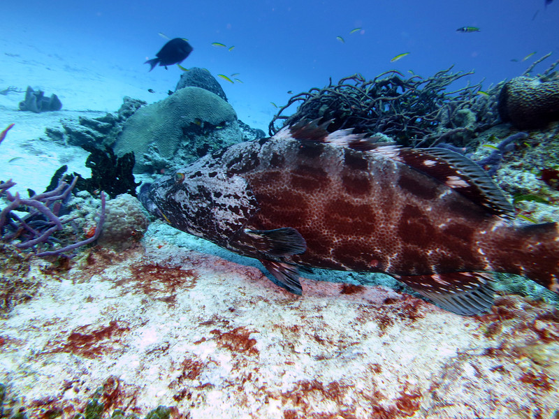 Tiger Grouper - This big guy had to be 5 feet long