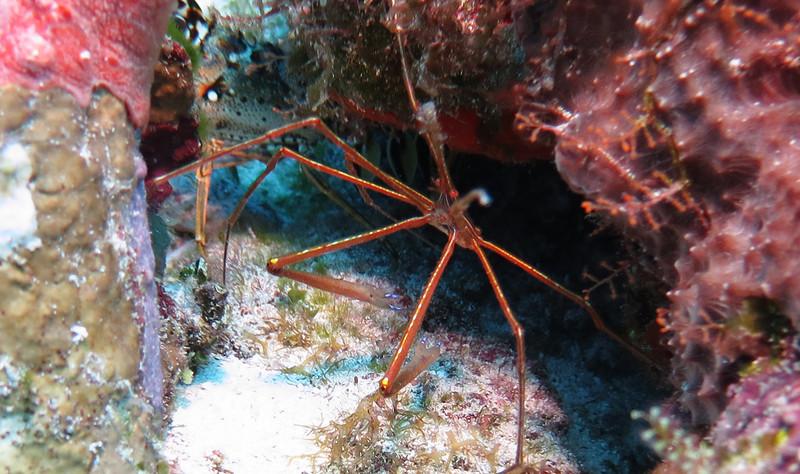 Orange Arrow Crab