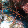 Orange Arrow Crab