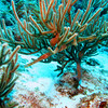 Trumpet Fish - here he is again