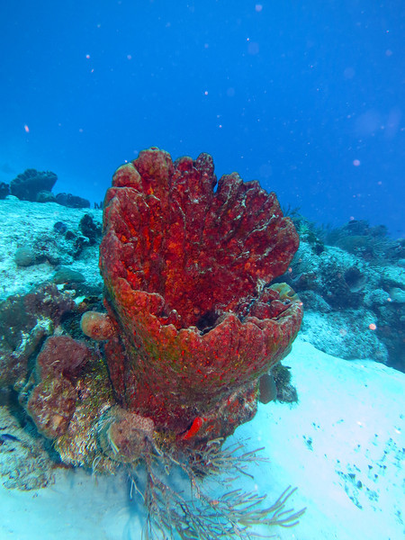 Huge Barrel Sponge
