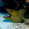 Huge Green Moray  EEL