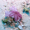 A Purple Flower Sand Dollar