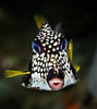 Trunkfish!!