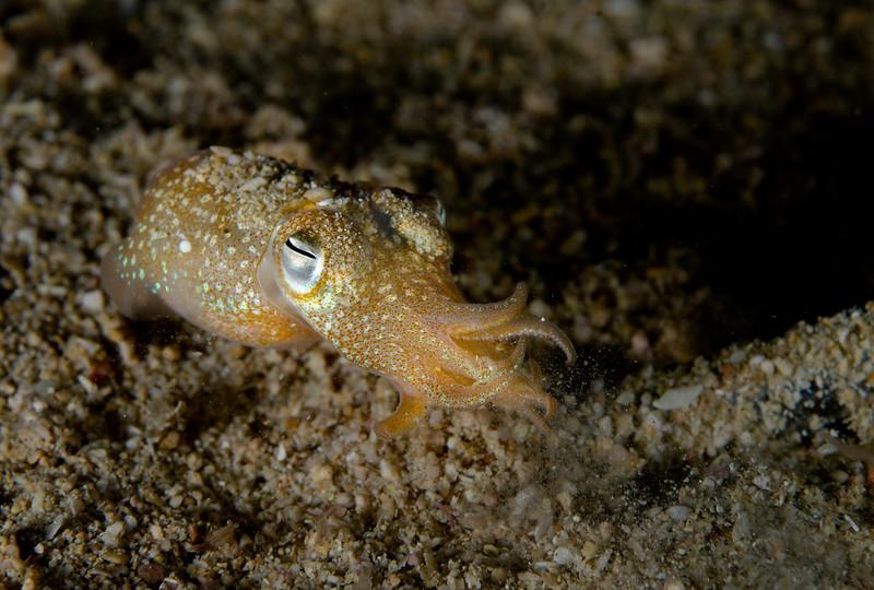 Baby cuttlefish (a little over an inch long!)