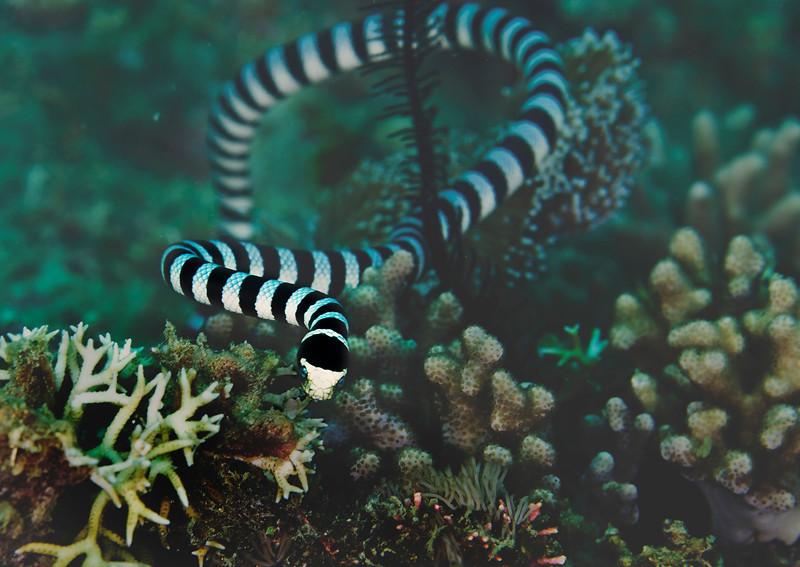 Sea krait