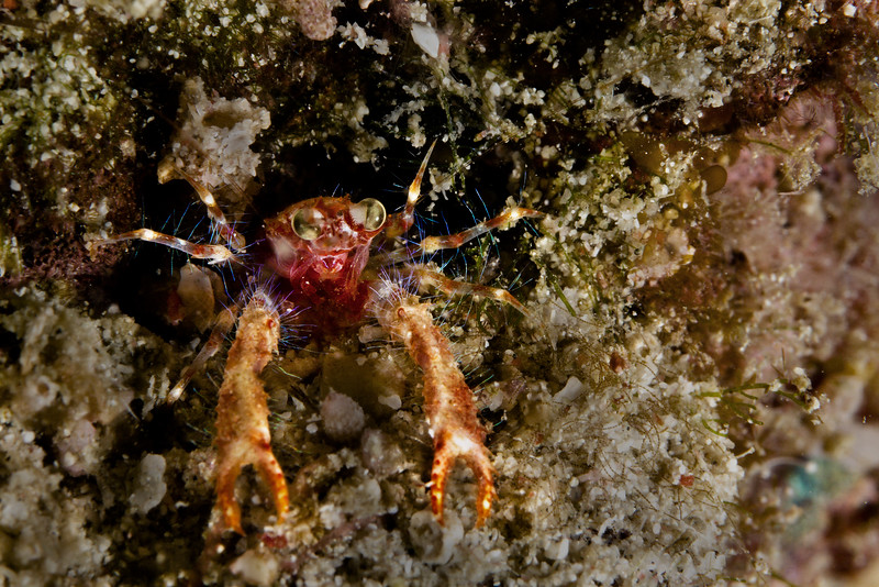 A bug-eyed-squat-lobster!