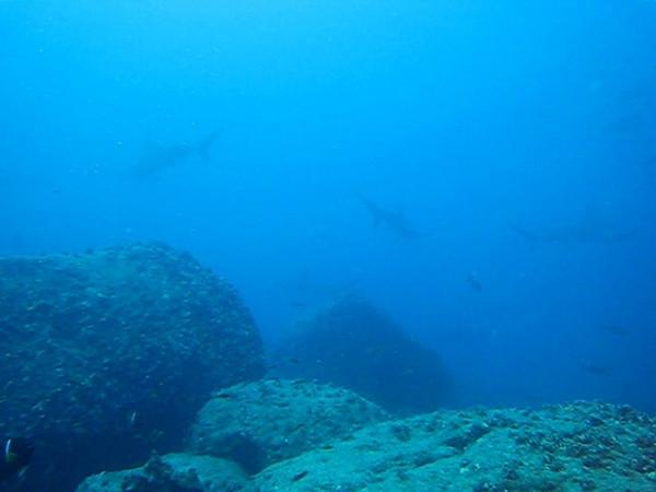 Scalloped Hammerhead Sharks, Galapagos Islands. Dec 2006.