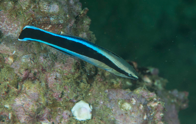 """Very similar to """"Mimic blenny"""" with difference in mouth. the blenny mimic the wrasse to make it easier for it to  approch large fishes and bite it's fins"""