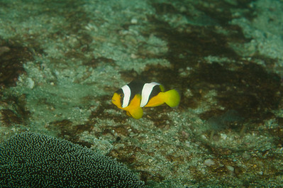 Adult Sebae anemonefish