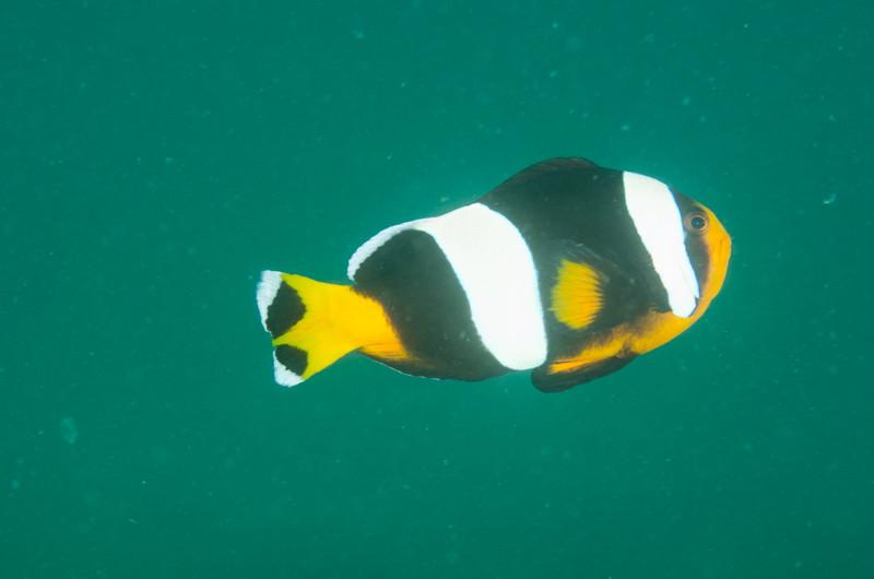 Adult Sebae anemonfish
