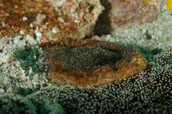 Sebae anemonefish eggs
