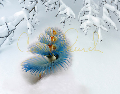 Christmas tree worm in snow