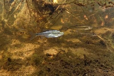 Underwater small fresh water fish western Nova Scotia lake