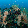 Soft Corals and Orange Anthias