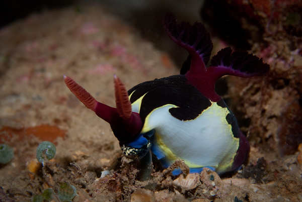 Dorid Nudibranch dining on a Bulb Tunicate