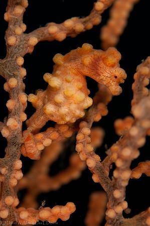 Pygmy Seahorse on Gorgonian Fan  DWA_5736