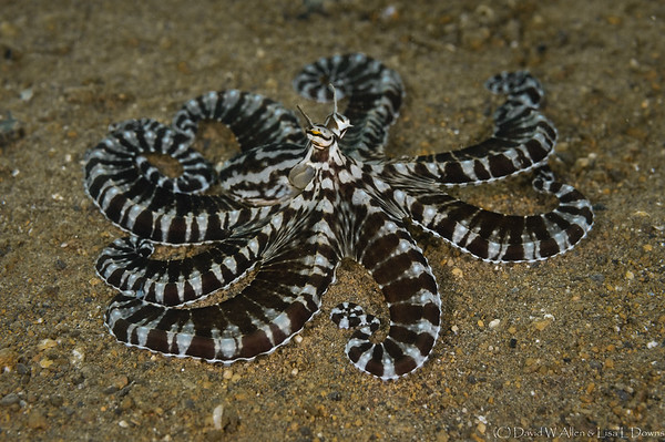 Mimic Octopus