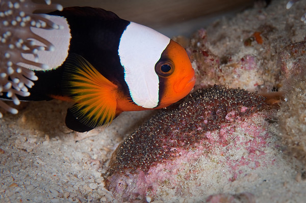 Saddleback Anemonefish guarding Eggs