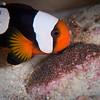 Saddleback Anemonefish guarding Eggs