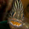 Tiger Cardinalfish with Eggs  _D857504