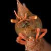 Rhinoceros Shrimp  _D856978
