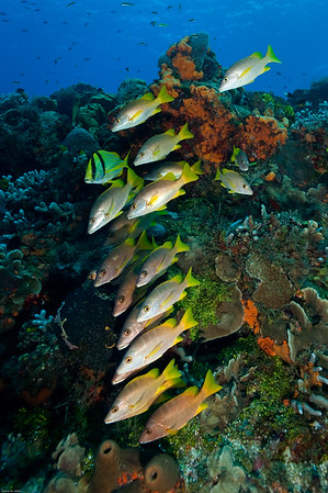 Schooling Snappers