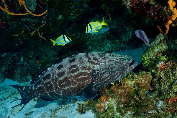 Goliath Grouper and Porkfish