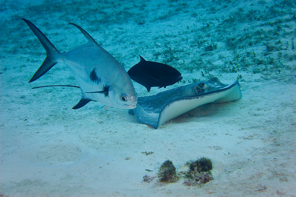 Southern Stingray, Permit Jack and smaller Jack (species unknown to us), hunting