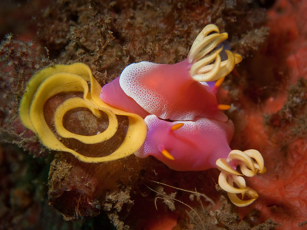 Mating Nudibranchs Laying Egg Ribbon
