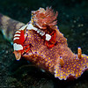 """T-Bar"" Nudibranch with pair of Commensal Imperial Shrimps  LS 2006-719"