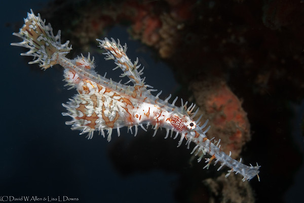 Ornate Ghost Pipefish  LS 2006-549