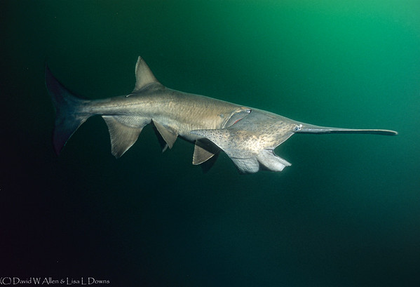 Soonbil Paddlefish  MS38