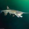 Soonbil Paddlefish  MS38