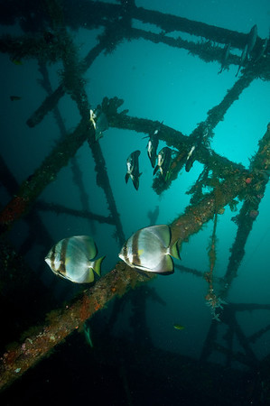 Batfish on wreck at 80 ft.
