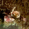 Porcelain Crab on Anemone