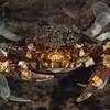 Anemone Crab  _D751535