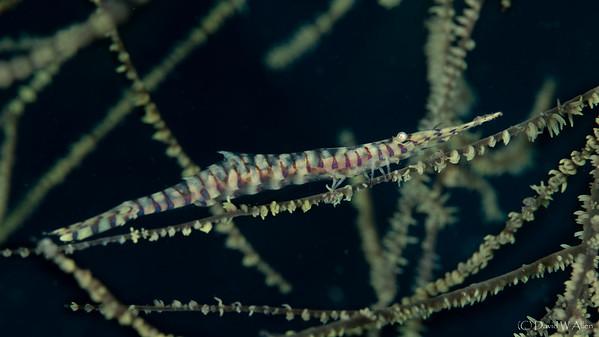 Tozeuma Shrimp   _D852552
