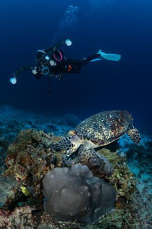 Green Sea Turtle   _D852779-Edit