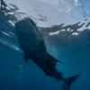 Whale Shark  _D751882