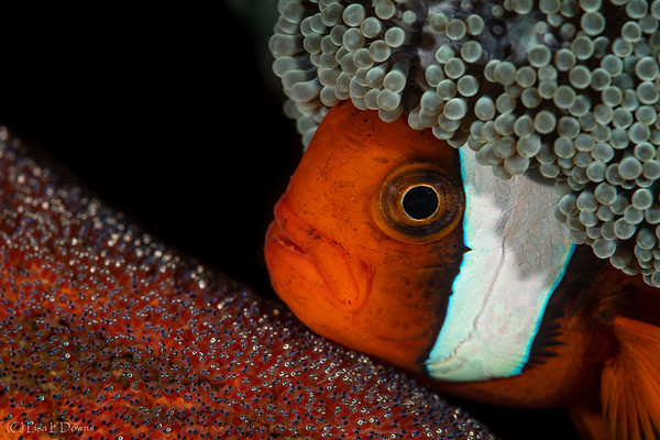 Tomato Clownfish with Eggs  _D751728