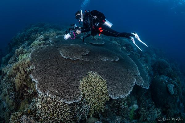 Acropora Table Coral  _D852761