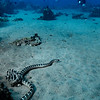 Chinese Sea Snake  _D852684