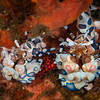Harlequin Shrimps   _D751430