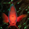 Tomato Clownfish  _D751592
