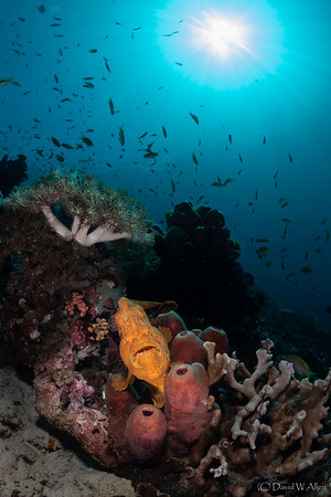 Painted Frogfish on Tube Sponges   _D852055