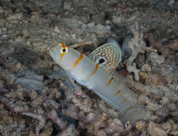 Randall's Shrimpgoby  _D751602
