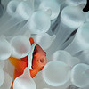 Tomato Anemonefish  _D751621